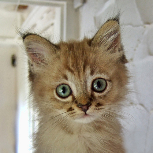 Cute kitten by Brett Jordan on Flickr